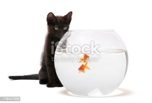 istock Black kitten looking at Goldfish, swimming in fish bowl. 119447205