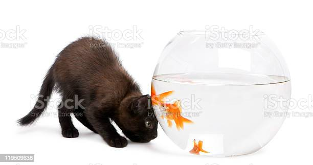 Black kitten looking at goldfish swimming in fish bowl picture id119509638?b=1&k=6&m=119509638&s=612x612&h=c7myzkinhmsvpwigdgdsl8yjmnq4engxbz4cxvgglxa=
