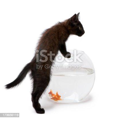 istock Black kitten looking at Goldfish swimming in fish bowl 173656119