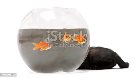 istock Black kitten looking up at Goldfish swimming in fish bowl 510066108