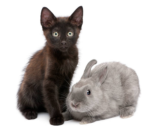 Black kitten playing with rabbit in front of white background picture id510063664?b=1&k=6&m=510063664&s=612x612&w=0&h=mkfwtrpuwd50yumj51ar9hmepaminpzqtfzh9rpavny=