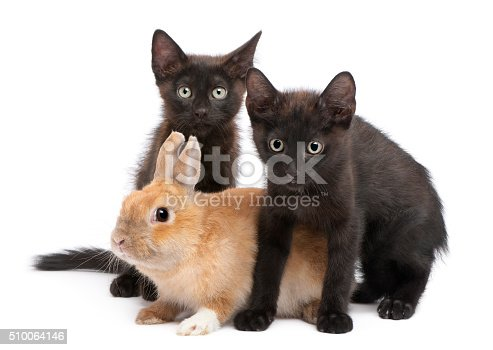 istock Black kitten playing with rabbit in front of white background 510064146
