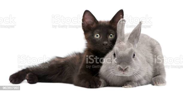 Black kitten playing with rabbit in front of white background picture id962857992?b=1&k=6&m=962857992&s=612x612&h=w zauftuwib6zvdipnpv5wlpvdlpancweek9q3pilx0=