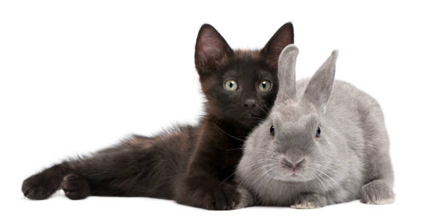 Black kitten playing with rabbit in front of white background picture id962857992?b=1&k=6&m=962857992&s=612x612&w=0&h=fubmvkrpjaumiif4ngkmasjihh2a8pwh8udlftozmgc=