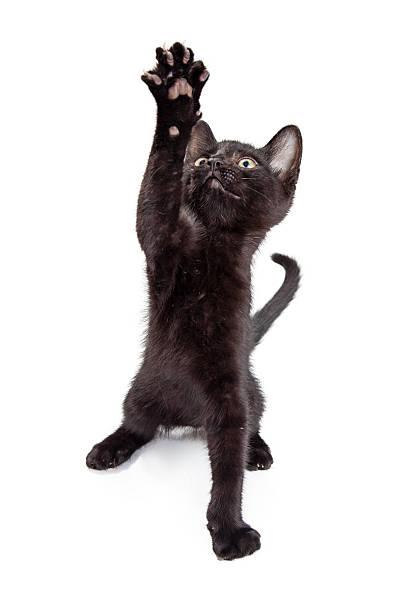 Black kitten reaching paw up picture id584211482?b=1&k=6&m=584211482&s=612x612&w=0&h=kuntonsdzopdemphpzgnpzotlcwwuqh51ebwefksyyu=