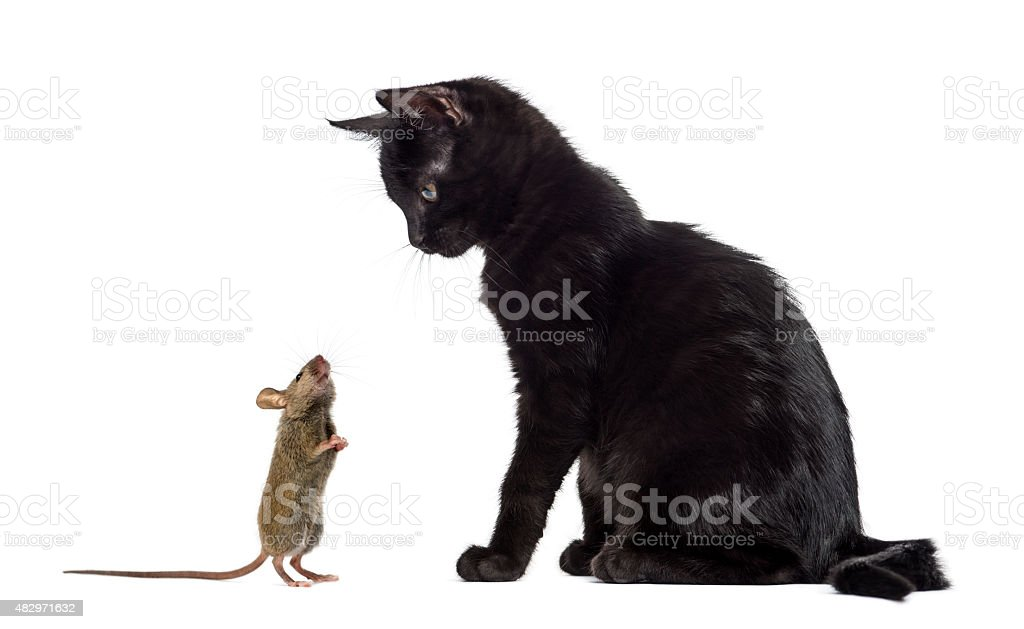 Black kitten sitting and looking at a mouse sniffing him stock photo