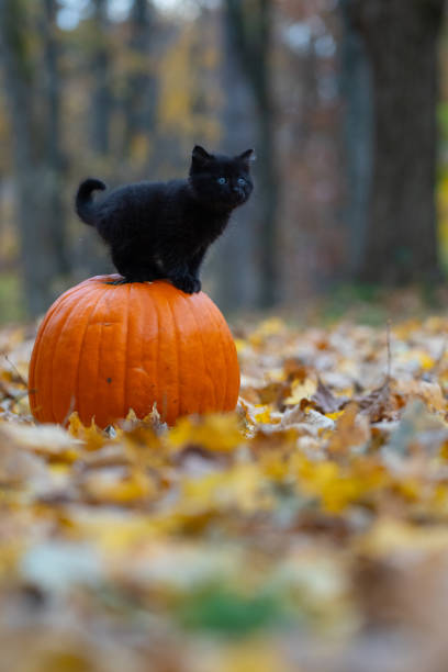 black kitten sitting on pumplin in forest Cute black kitten sitting on an orange pumpkin in the woods at Halloween black cat stock pictures, royalty-free photos & images