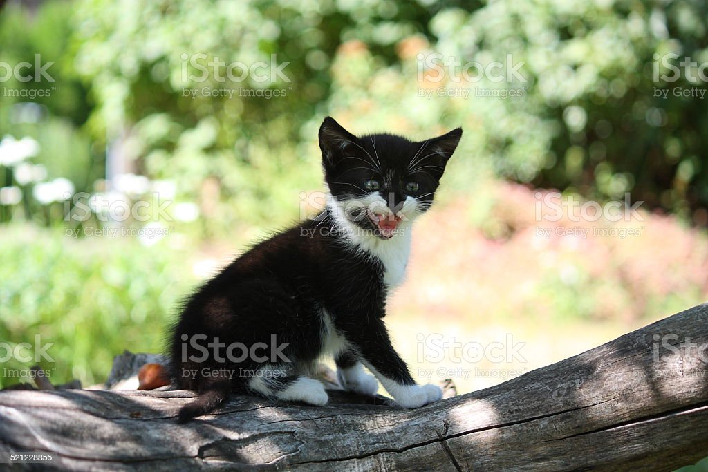 Black kitten sitting on the tree branch meowing stock photo