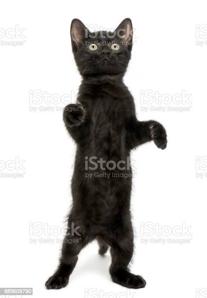 Black kitten standing on hind legs playing looking up 2 months old picture id889609790?b=1&k=6&m=889609790&s=612x612&h=ifsebkd jmjpsgl00pictuy08ipdkeoq6lya2vzx1oa=