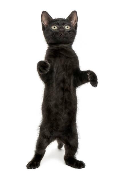 Black kitten standing on hind legs playing looking up 2 months old picture id889609790?b=1&k=6&m=889609790&s=612x612&w=0&h=nzu2elivxtbtwiz7uxmsfjs8yveivhdu7z8kmmleqwq=