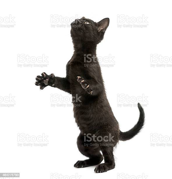 Black kitten standing on hind legs playing looking up picture id464275793?b=1&k=6&m=464275793&s=612x612&h=mv4sxkjjpgcp94fqxqsvg1hkfxrmmkljfp8wsevts08=
