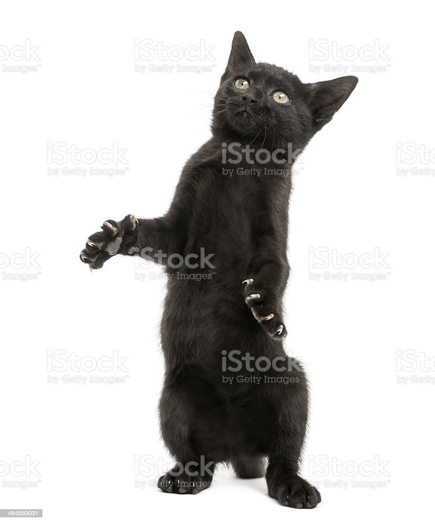Black kitten standing on hind legs, playing, looking up stock photo