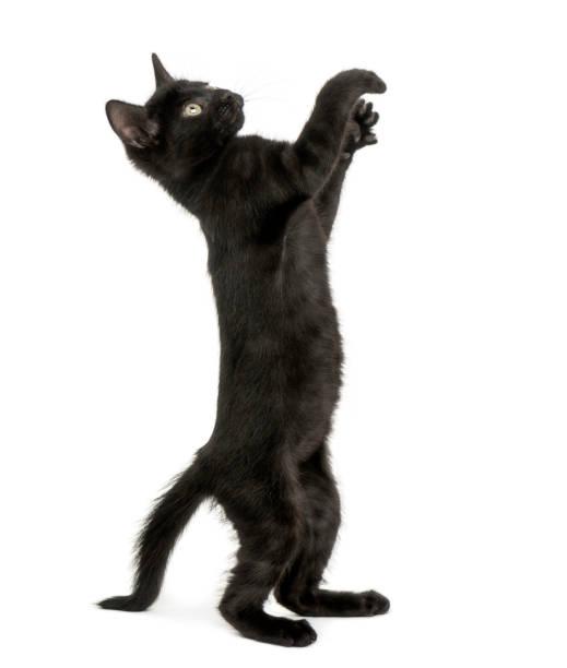 Black kitten standing on hind legs reaching pawing up 2 months old picture id889609826?b=1&k=6&m=889609826&s=612x612&w=0&h=obyuwbfeptasb9dqtyyw kgabaygteqz4djzdolbntq=