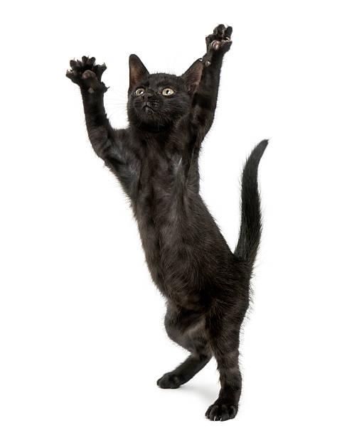 Black kitten standing on hind legs reaching up on screen picture id464702731?b=1&k=6&m=464702731&s=612x612&w=0&h=ast k0l7wbw63wlrncutl payvykv5rknkyt3e afl0=