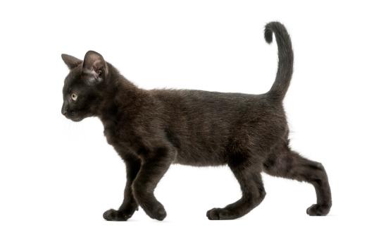 Black kitten walking, 2 months old, isolated