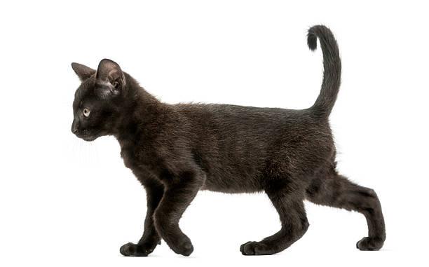 Black kitten walking 2 months old isolated picture id464570453?b=1&k=6&m=464570453&s=612x612&w=0&h=wfnkledy zubm8 6wqt50h51d4znx3yor3iosk214f4=