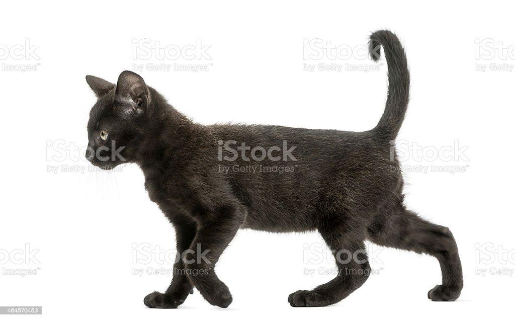 Black kitten walking, 2 months old, isolated stock photo