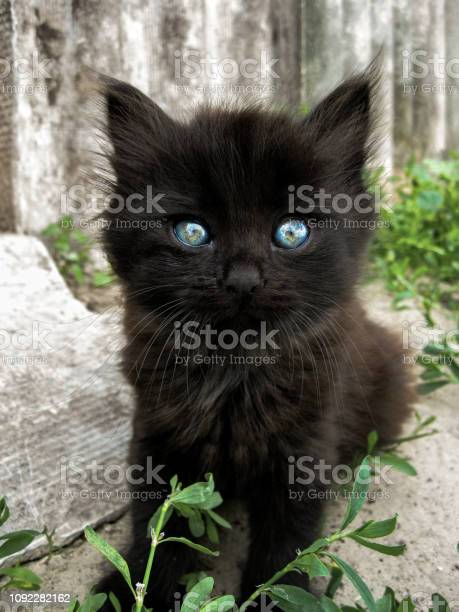Black kitten with blue eyes on bright gray background with grass picture id1092282162?b=1&k=6&m=1092282162&s=612x612&h=rky89jwalqidm7vxe8ucck9gexpojtdmab7ietp0yyu=
