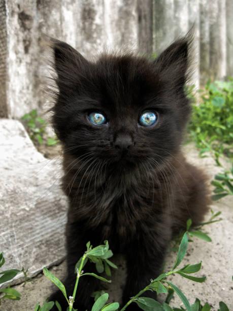 Black kitten with blue eyes on bright gray background with grass picture id1092282162?b=1&k=6&m=1092282162&s=612x612&w=0&h=ikqlcggv r4auugldgmp255kjvvpty3vglptriaroko=