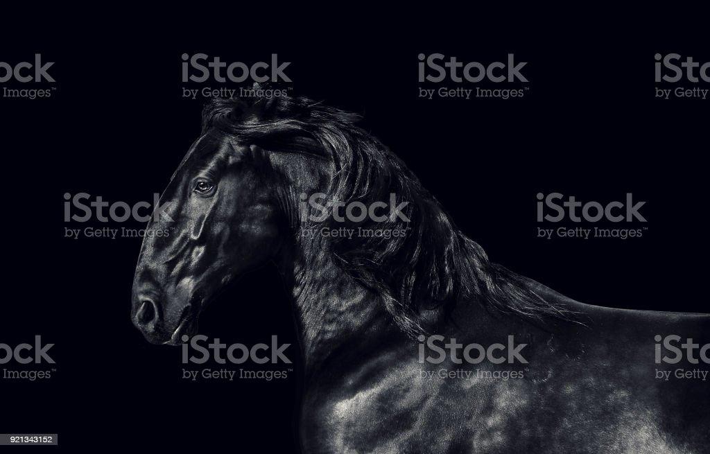 Cheval noir kladruber sur fond noir. touche Bas - Photo