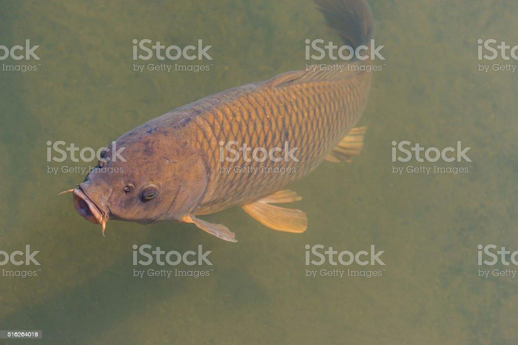 black koi fish swimming. stock photo