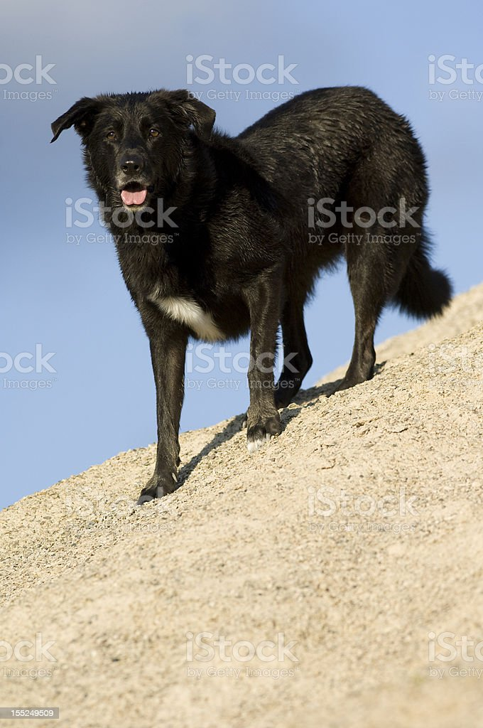 Black Lab Border Collie Stock Photo - Download Image Now