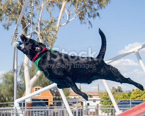 Black Labrador Retriever catching a toy while participating in a dock diving game