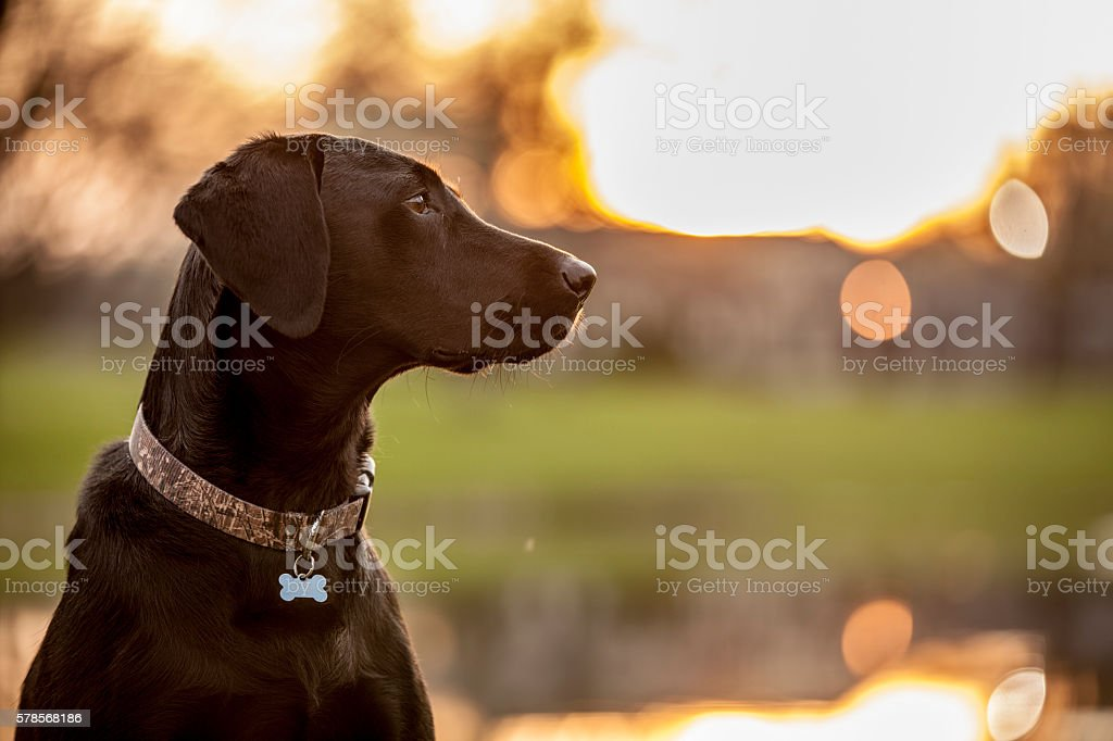 Black Lab morning stock photo