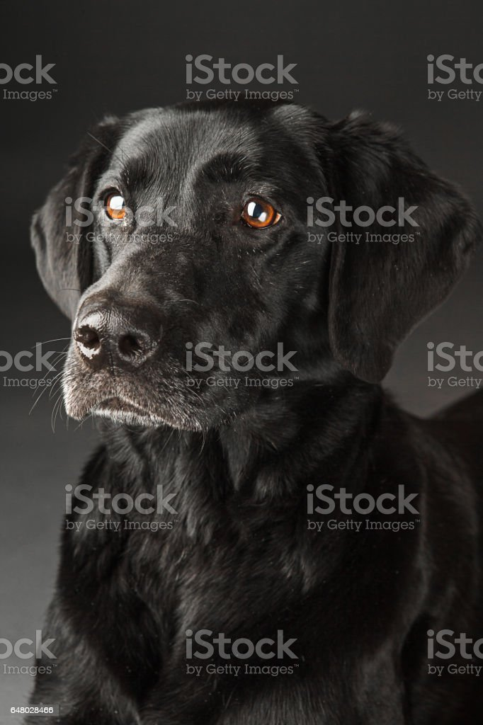black lab portrait stock photo