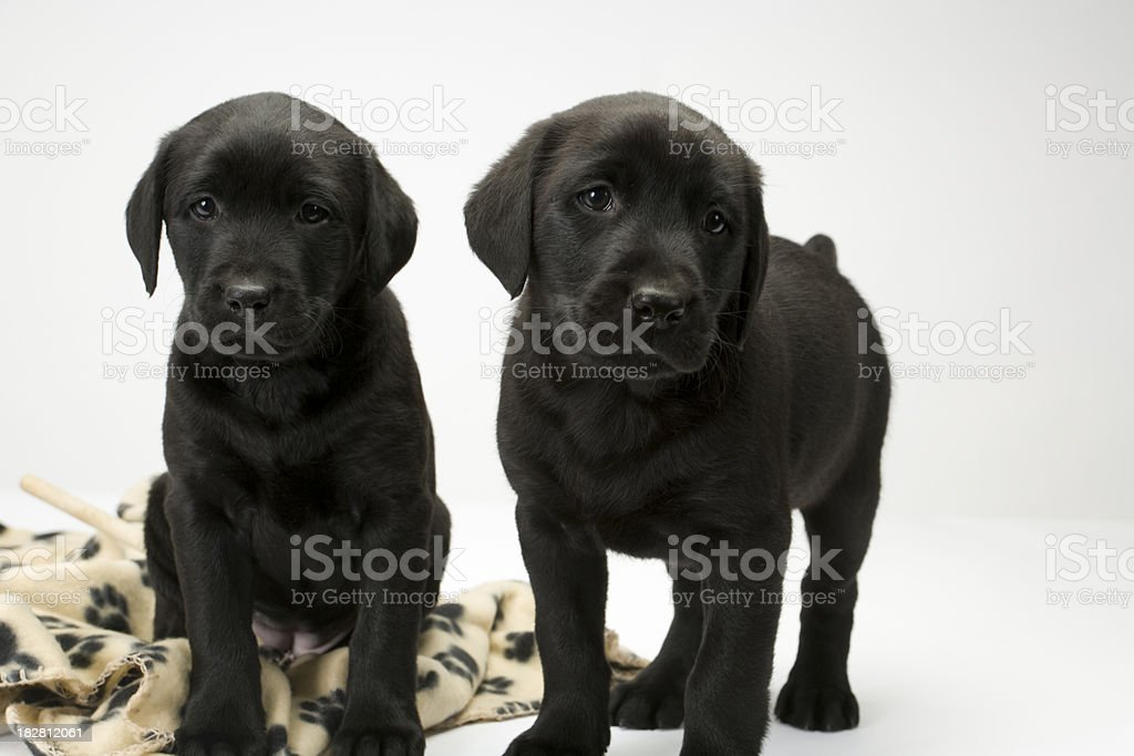 Black lab puppies on white seamless stock photo