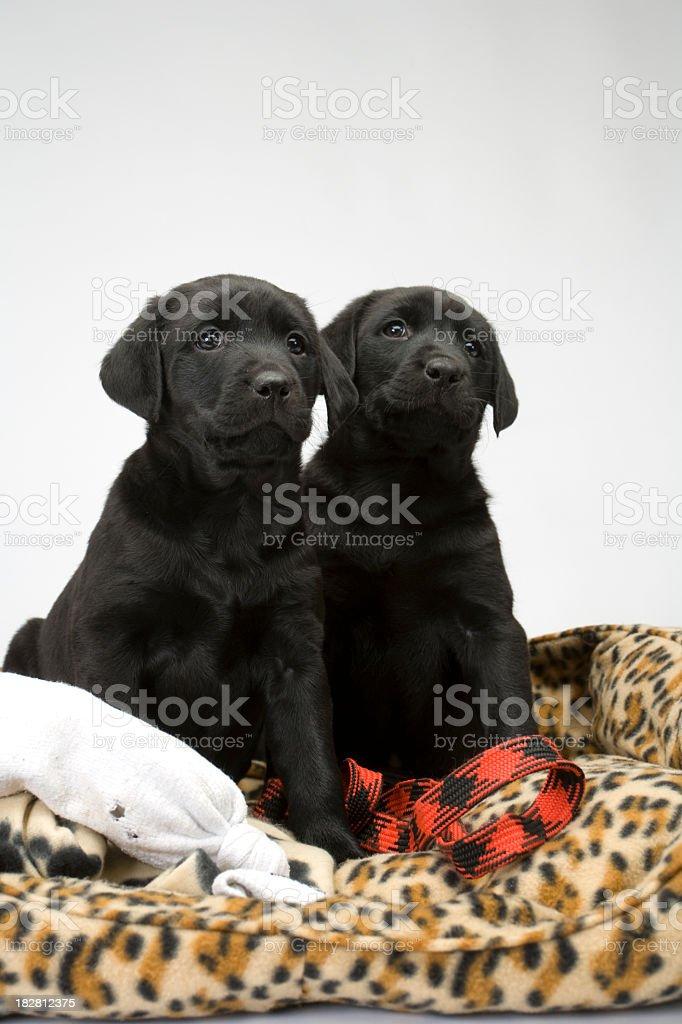 Black lab puppies on white seamless royalty-free stock photo
