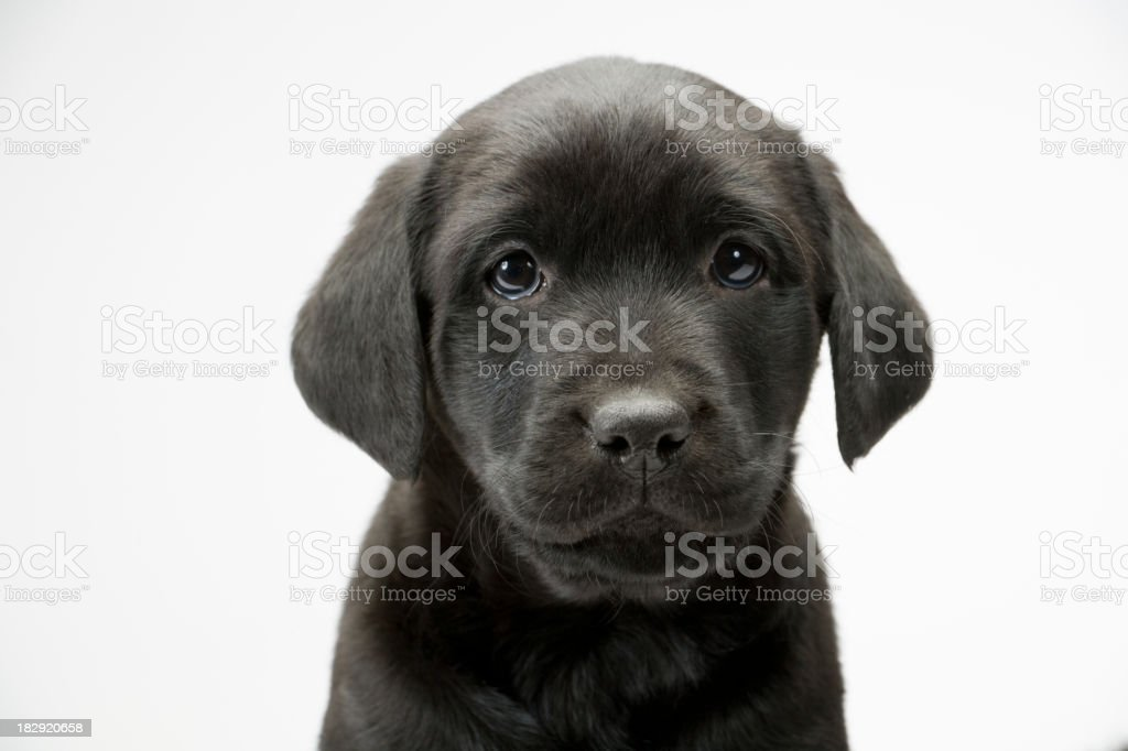 Black lab puppy on white seamless stock photo