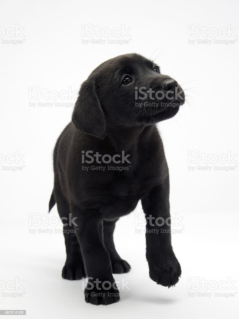 Black lab puppy on white seamless stock photo