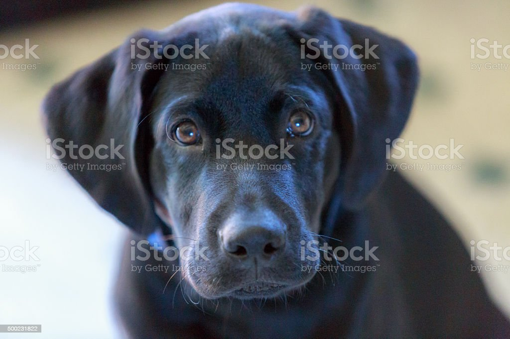 Black lab puppy stock photo