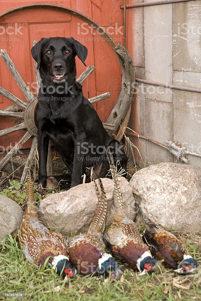 Black lab with pheasants royalty-free stock photo