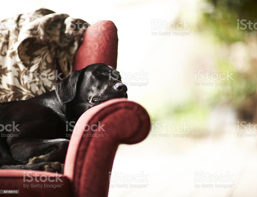 Black laborador retriever spanie na krześle zbiór zdjęć royalty-free