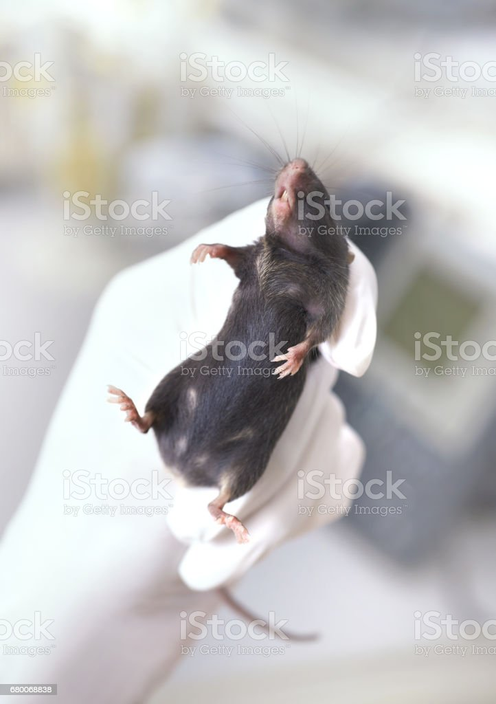 Black laboratory mouse immobilized in a gloved hand stock photo