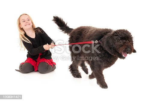 Black labradoodle on a red leash pulling happy, young blonde girl along. Isolated on white studio background