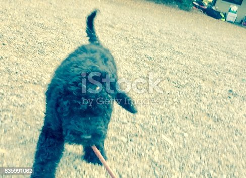 Black 10 month old labradoodle puppy dog playing with stick.