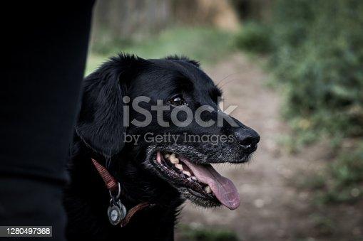 Close up head shot of black labrador cross.