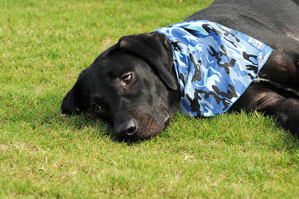 Black Labrador Dog daydreaming in the grass stock photo