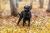 adorable, animal, autumn, background, beautiful, black, black lab, breed, buddy, canine, closeup, color, cute, dog, doggie, doggy, domestic, ears, expression, eye, eyes, face, friend, friendship, funny, grass, head, labrador, labrador retriever, looking, love, lovely, mammal, nature, no people, outside, park, paw, pedigree, pet, portrait, puppy, purebred, retriever, summer, waiting, young