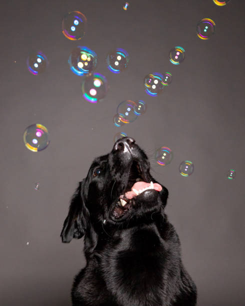 black labrador dog playing with soap bubbles . stock photo