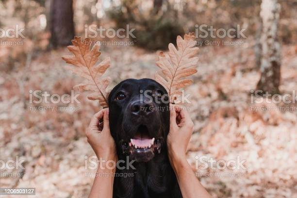 Black labrador dog portrait with funny leaves for ears sitting on picture id1206503127?b=1&k=6&m=1206503127&s=612x612&h=a6inl4aen5kg3p4yom qyrlol19 tchrn2 zghtoz4c=