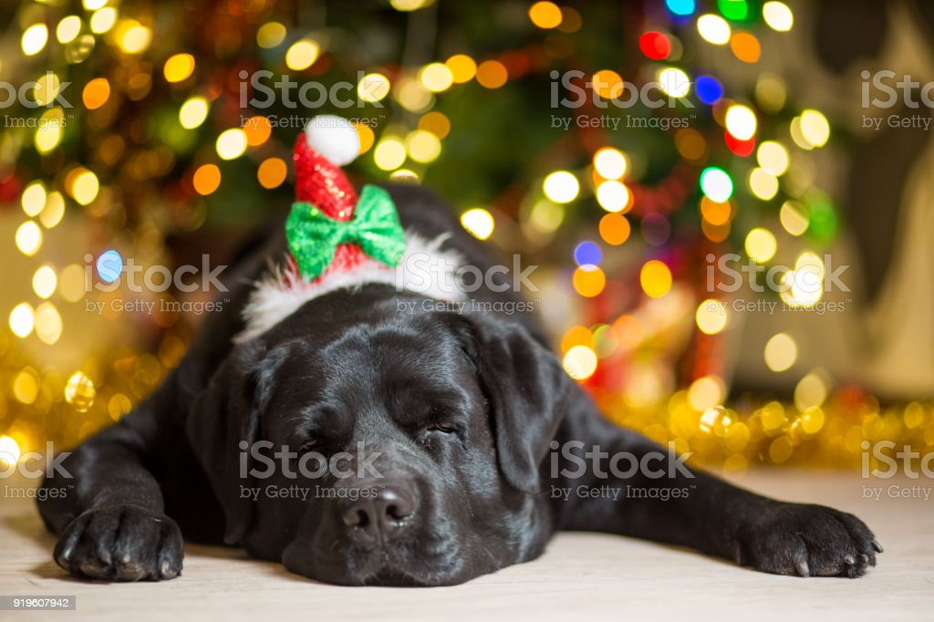 A black Labrador dog wearing a gnome cap near a Christmas tree with garlands stock photo