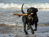 Black Labrador dog fetching stick from the sea
