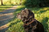 A black labrador retriever holds a treat on his head.