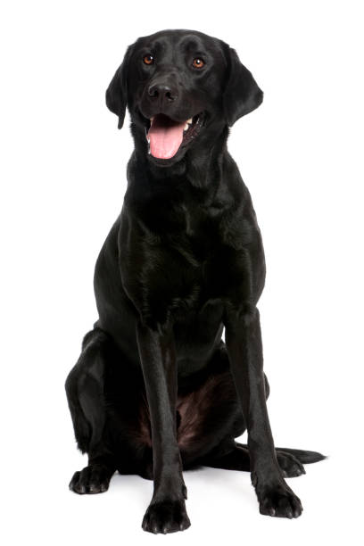 black Labrador in front of a white background black Labrador in front of a white background retriever stock pictures, royalty-free photos & images