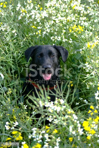 My puppy playing in wet crops in some local fields