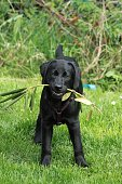 black labrador is standing in the garden with a limb in the mouth